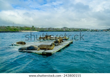 sea lions laying on the dock galapagos islands ecuador - stock photo