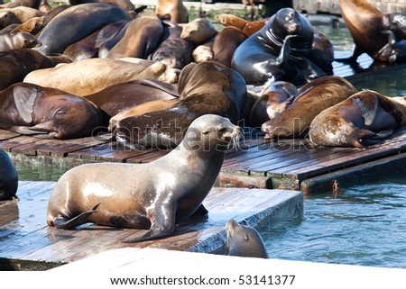 Sea Lions near Pier 39 in San Francisco - stock photo