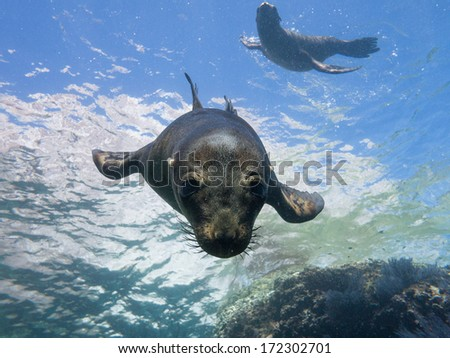 Sea lions of espiritu santo, Mexico - stock photo