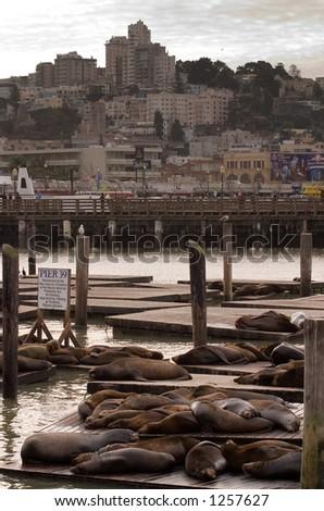 Sea Lions on San Francisco Bay - stock photo