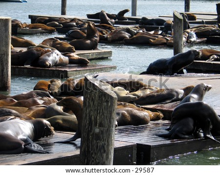 Sea Lions on San Franciso's Fisherman's Wharf - stock photo