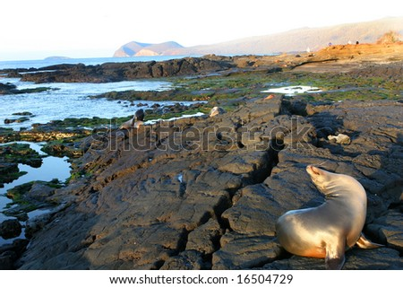 Sea Lions play on the shores of the Galapagos Islands - stock photo