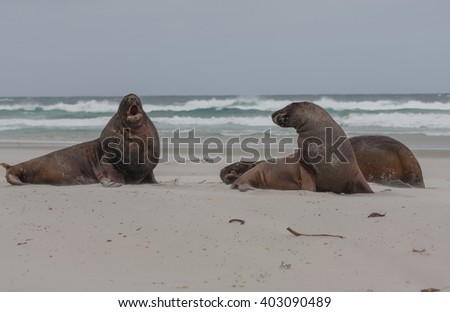 Sea Lions relaxing on the beach - stock photo