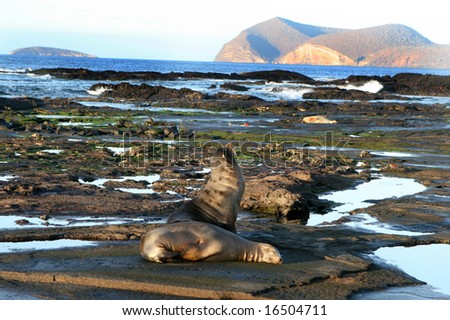 Sea Lions rest on the shores of the Galapagos islands of Ecuador - stock photo