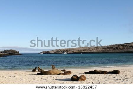 Sea Lions sun themselves on the sands of Santa Fe Island, Ecuador - stock photo