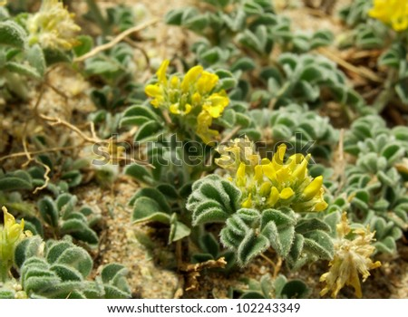 Sea Medick - Yellow Flowering Coastal Plant in Crete Greece - stock photo