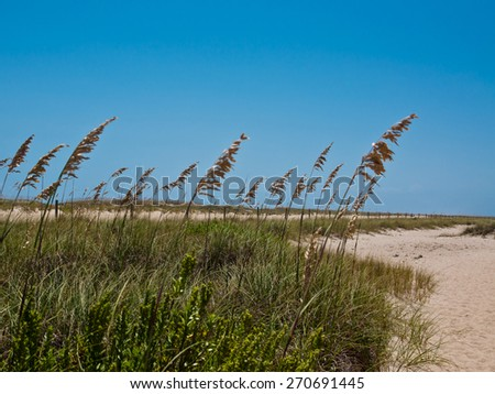 Sea Oats along a sandy path.  bright blue sky with room for copy space - stock photo
