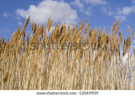 Sea oats in front of a brilliant blue sky. - stock photo