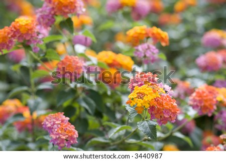 """sea of lantana, also known as """"ham and eggs"""" - shallow DOF, focus on flower cluster in foreground - stock photo"""