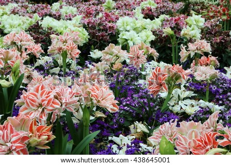 Sea of Lily flowers, including Lilium Siberia and other colorful lily flowers in full bloom - stock photo