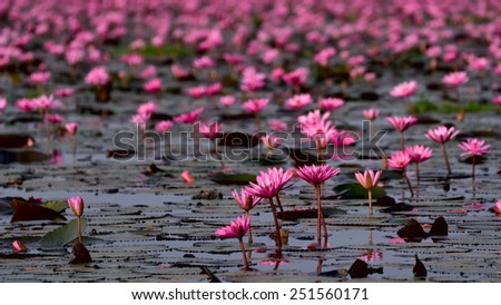 Sea of pink lotus,Nong Han, Udon Thani, Thailand (unseen in Thailand) - stock photo