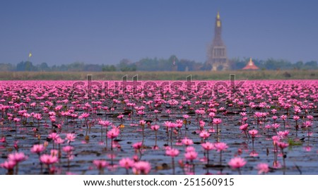 Sea of pink lotus,Nong Han, Udon Thani, Thailand (unseen in Thailand)