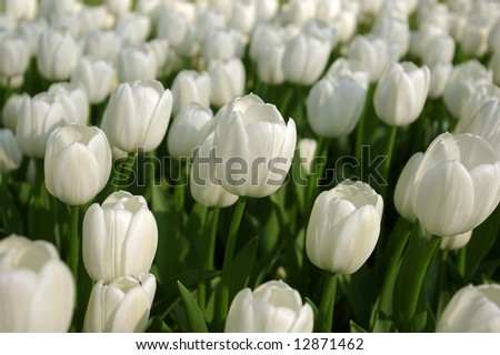 Sea of white tulips. Focus on the middle one.