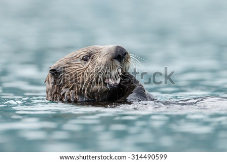 Sea otter close-by in water - stock photo