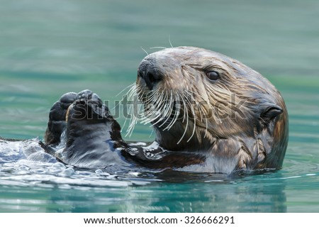 Sea otter close up portrait