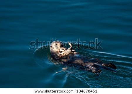Sea Otter eating a crab in Morro Bay - stock photo