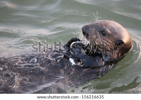 Sea Otter eating clam - stock photo