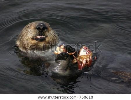 Sea Otter Eats a Crab - stock photo