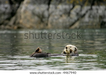 Sea otter floating in Tutka Bay, Kenai Peninsula, Alaska - stock photo