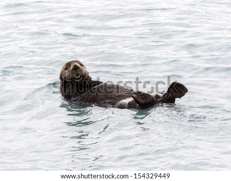 Sea Otter in Fjords Near Seward Alaska - stock photo