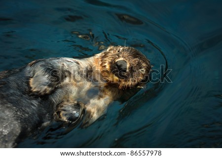 Sea otter in water,endangered species,shallow focus - stock photo