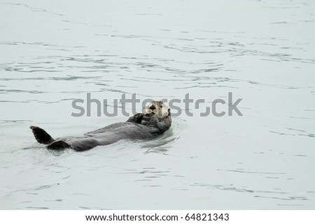 sea otter - pacific - alaska - stock photo