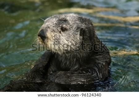 Sea Otter Portrait - stock photo