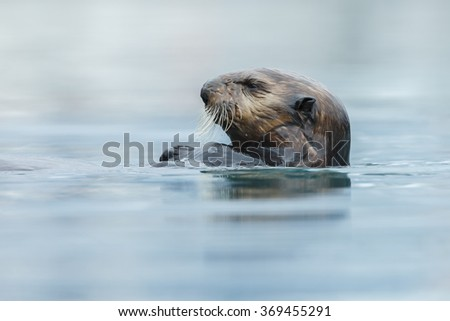 Sea otter swimming in the blue ocean water - stock photo