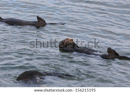 Sea Otter with paws in its mouth - stock photo