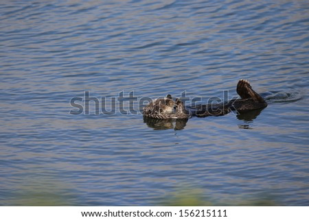 Sea Otters swimming on its back - stock photo