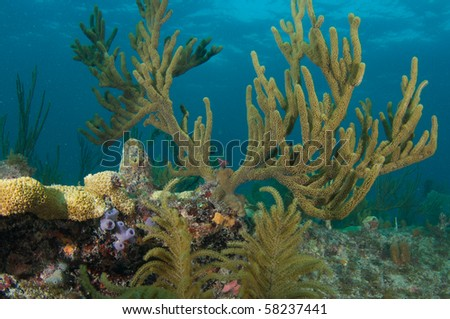 Sea Rod on a reef in Broward County, Florida - stock photo