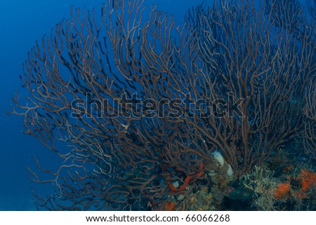 Sea Rod on top of a reef at a depth of sixty feet, picture taken Boca Raton, Florida. - stock photo