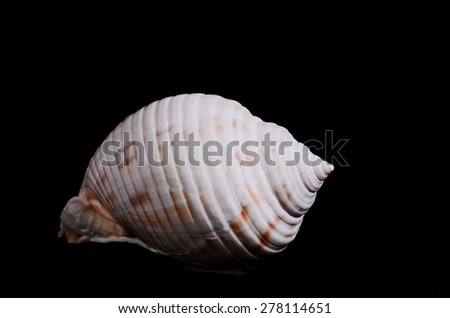 Sea Shell Isolated On A Black background
