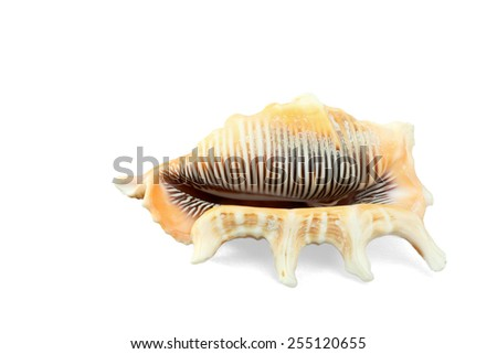 Sea Shell Isolated On White - stock photo