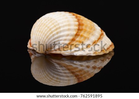 Sea shell of bivalvia isolated on black background, reflection