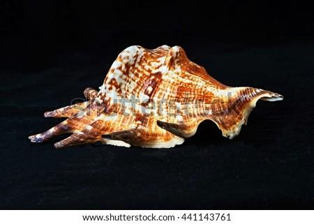 Sea shell on black velvet background. - stock photo
