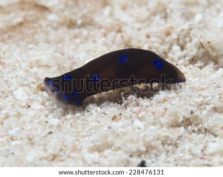 Sea slug Chelidonura livida in red sea - stock photo