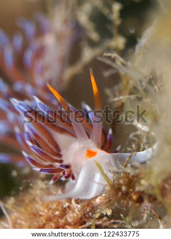 Sea slug, Nudibranch (Cratena peregrina) - stock photo