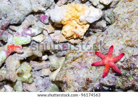 Sea star in the coral reef, Bali sea, Indonesia - stock photo