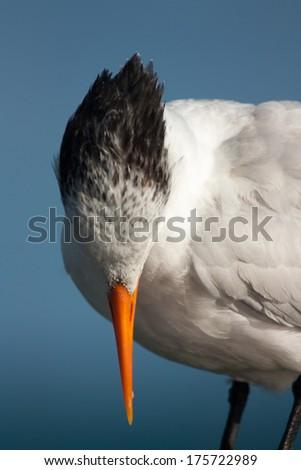 sea tern - stock photo