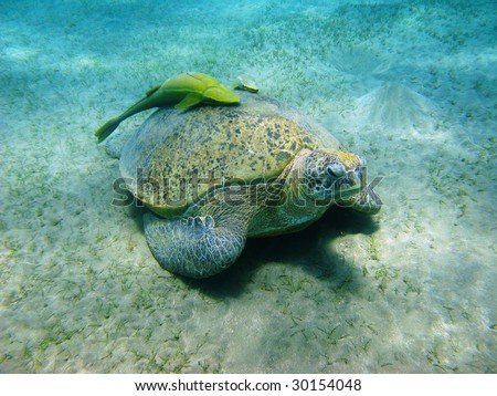 Sea turtle and sucker-fishes