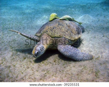 Sea turtle and suckerfishes in Red sea - stock photo