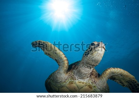 Sea Turtle and Sunburst: This Hawaiian green sea turtle swam right over me while scuba diving on a clear, sunny day in Oahu. - stock photo