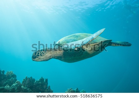 Sea turtle close encounter swimming through the blue ocean