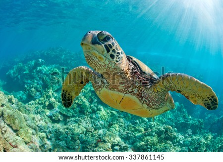 sea turtle close up over coral reef in hawaii - stock photo