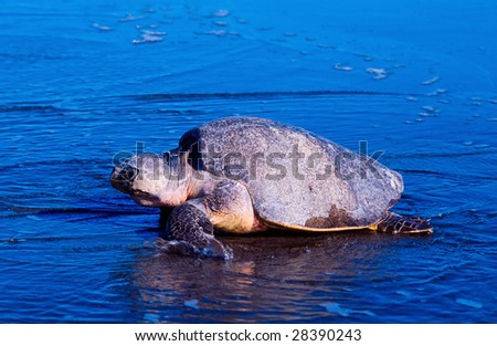 Sea turtle crawling from the beach to the sea - stock photo