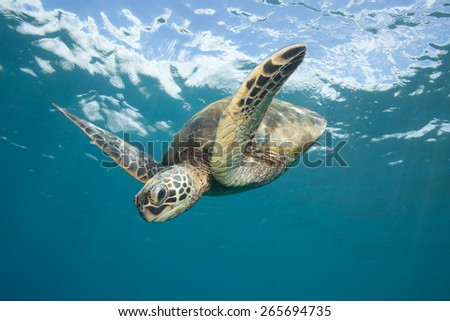 Sea Turtle Diving Down: A Hawaiian Green Sea Turtle swims down from the glassy ocean surface through clear blue ocean water - stock photo