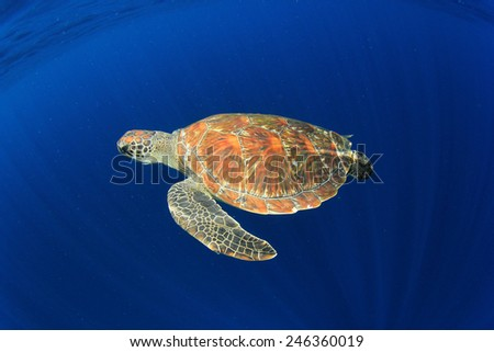 Sea Turtle diving underwater in ocean