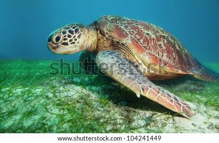 Sea turtle eating seaweed deep underwater - stock photo