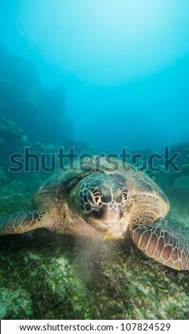 sea turtle eating seaweed on the ocean bottom - stock photo
